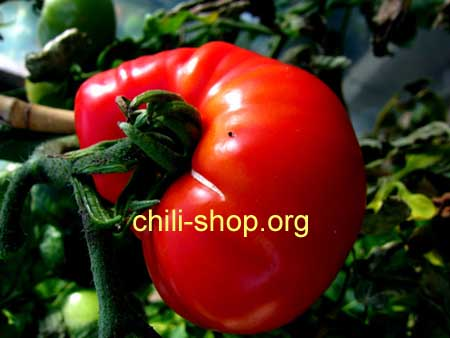 tomate rot orlov trotter blaue tomaten samen kaufen chili samen im shop. Black Bedroom Furniture Sets. Home Design Ideas